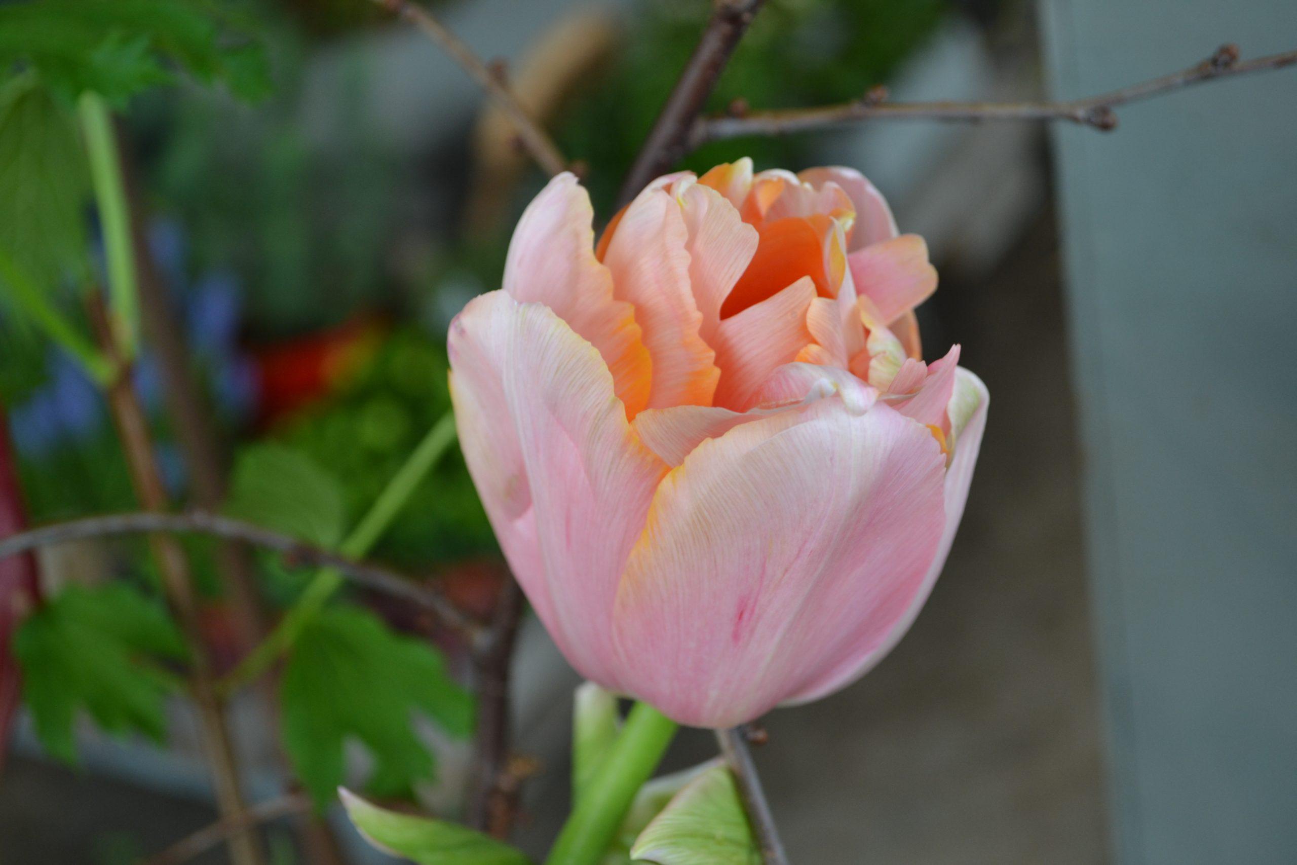 lente tulpen boeket bezorgen